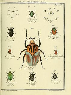 BeetlesincludingGoliathus cacicus by BioDivLibrary on Flickr. Entomologie, ou, Histoire naturelle des insectes :.A Paris :De lImprimerie de Baudoin,1789-1808..biodiversitylibrary.org/page/40643515