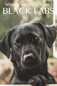 Black Lab - Your Guide To The Black Labrador Retriever - The Labrador Site