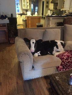 Baby Cow Thinks He's a Dog Just Like His Great Dane Best Friend | BlazePress #greatdane