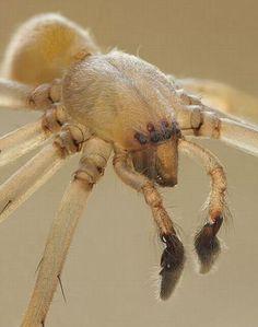 Aranhas-de-pés-pretos. Essas aranhas não são muito venenosas, apesar de carregarem boas quantidades de veneno. Não se preocupe: caso você seja picado por elas, dificilmente irá morrer ou ter complicações sérias. Entretanto, em alguns casos mais graves, as picadas delas podem causar necroses ao redor do local mordido. Felizmente, elas só vivem no sul dos Estados Unidos.