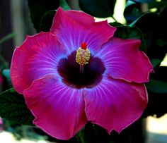 Rum Runner Hibiscus - So beautiful. They actually change color according to the time and weather. In the morning they are deep, vibrant colors; later in the day, they become soft pastels.