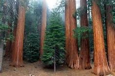 Long-lived sequoias have a quite elaborate reproduction system, Often make rings of trees with their shallow roots intertwined and supporting the whole grove.