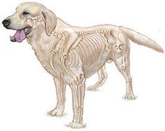 Kutyakozmetika | kutya, macska nyírás, szőrápolás háznál | - Anatómia