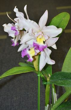 Rlc. Insect Wing