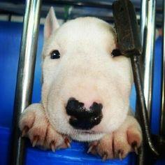 Panda the Miniature Bull Terrier on Puppystream.me!