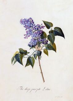 botanical print - lilac by bleu.