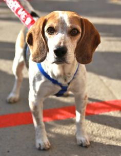 MARYLAND Fostered in Abingdon, MdBarney is a 35 lb beagle mix, estimated to be approx. 5-6 yrs old. He was found as a stray and ended up in great danger in a Maryland shelter. It's sad to think he almost didn't make it out because Barney LOVES attention and...