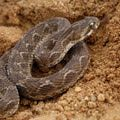 Saw-Scaled Viper or Carpet Viper