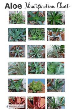 Aloe Succulent Plants - identification chart - herminia siqueira - HOME Types Of Aloe Plants, Types Of Succulents, Cacti And Succulents, Planting Succulents, Succulent Landscaping, Succulent Gardening, Succulent Care, Garden Plants, Aloe Vera Plant Indoor
