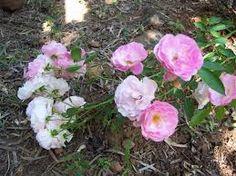 Image result for krishna kamal flower