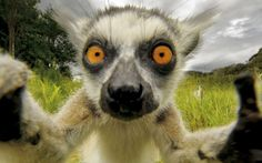 Wildlife photographer Simone Sbaraglia managed to get this close up of an inquisitive lemur on the island of Madagascar