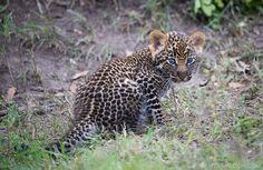 Leopard Cub by Mark Dumbleton