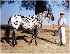 leopard appaloosa | ... Appaloosa Sport Horse Stallion from Leopard Rock Sport Horse Appaloosa