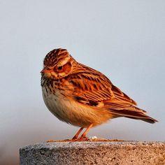 Boomleeuwerikken vliegen nu in paren rond in #nphollandseduinen #HollandsDuin #staatsbosbeheer_featureme #woodlark #wonderfull_holland #vogel #bns_birds #birdsofinstagram #vogelskijken #naturelovers #natuurdichtbij