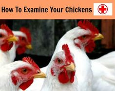 How To Examine Your Chickens | Checking your chickens health| Sunny Simple Life