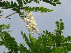 ニセアカシア. Robinia pseudoacacia. 17  May 2017.