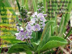 La Verónica mejora las afecciones de la piel, la inflamación, la gastritis o incluso el asma ecoagricultor.com