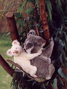 Stock Photo of concept albino koala joey baby rare mother eucalyptus tree Rare Animals, Animals And Pets, Wild Animals, Cute Funny Animals, Cute Baby Animals, Animals Crossing, Cute Animal Pictures, Animal Pics, Pets
