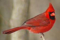 Northern Cardinal - Brilliantly Beautiful: Northern Cardinal - Male