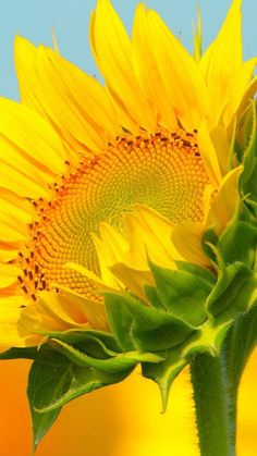 Happy Flowers, Flowers Nature, Love Flowers, Beautiful Flowers, Sun Flowers, Sunflower Garden, Sunflower Art, Sunflower Fields, Growing Sunflowers