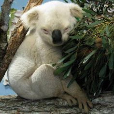 Albino Koala - http://fabuloustraveling.com/wonders-of-nature-20-albino-animals/