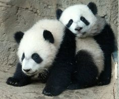 And our #ZAFanFriday Facebook Pic of the Week for July 11 -- this week's theme was Mei Lun and Mei Huan, in honor of their upcoming birthday -- Got Your Back, courtesy of Stacy W.