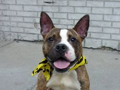 SAFE 11/24/14!  Was TO BE DESTROYED - 11/22/14 Brooklyn Center -P  My name is TYGA aka JACK. My Animal ID # is A1005162. I am a neutered male br brindle and white pit bull and boxer mix. The shelter thinks I am about 3 YEARS old.  I came in the shelter as a RETURN on 11/05/2014 from NY 11212, owner surrender reason stated was MOVE2PRIVA.    For more information on adopting from the NYC AC&C, or to  find a rescue to assist, please read the following: http://urgentpetsondeathrow.org/must-read/