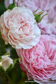 I found this online. I think its really pretty! I love those kinds of flowers! I can't wait till next spring!