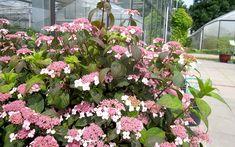 Japanische Tee-Hortensie (Pflanze) Kitchen Witch, Floral Wreath, Wreaths, Plants, Gardening, Decor, Nice, Inspiration, Ornamental Plants