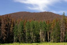 ROCKY MOUNTAIN NATIONAL PARK NOW: A hillside of dead pine trees killed by mountain pine beetles shows the effects of warming temperatures in the mountain ranges. In the past, freezing temperatures reduced insect populations. The beetles are now able to survive the milder winters, leading to devastating infestations.