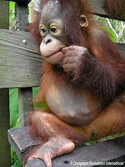maggie.  an orphan orangutan at orangutan foundation international in borneo.