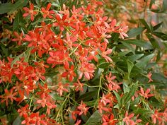 NSW Christmas Bush - a must for the Australian Christmas Table, I am so keen to plant one in our garden! Australian Native Garden, Australian Native Flowers, Australian Plants, Australian Bush, Aussie Christmas, Australian Christmas, Christmas Love, Christmas Ideas, Christmas In Australia