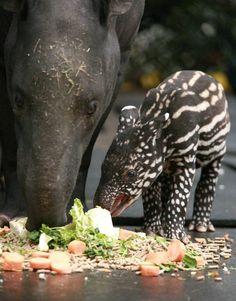 malayan tapir babeh. life made.