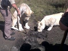 White lions under control