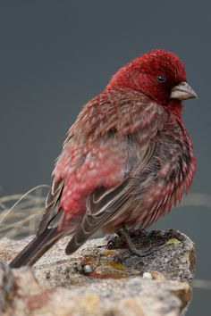 Great Rosefinch on Rock by Tom Schandy.  Gorgeous.   I need to get a bird feeder.