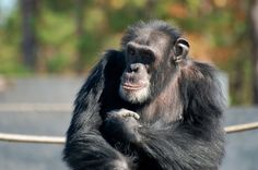 The fate of 450 medical-research chimps owned or supported by U.S. government will soon be decided. Most will likely be sent to sanctuaries, but 50 may be kept in captivity & used for medical experiments in future. A decision to keep them for research will be controversial. Profound questions remain over how to balance human benefits against the costs. It's debatable whether the experiments can ever be done in a way that treats chimps with the empathy due to humanity's closest living…
