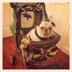 Practicing in the Mardi Gras stroller.