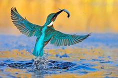 O pássaro Kingfisher que caça peixes de água gelada por 100 quilômetros por hora de velocidade