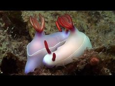 "Part 19 of my documentary, ""Mucky Secrets"", about the marine life of the Lembeh Strait.  In this episode I look at how sea slugs feed and mate."