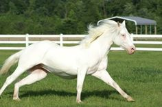 Guns And White Roses  Colonels Smoking Gun x Snip O Chex (by Nu Chex To Cash)  2007 White AQHA Mare