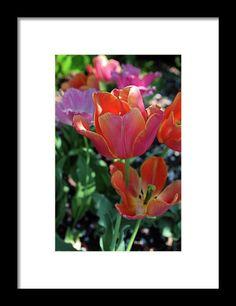 tulip, orange, flower, nature, bloom, blossom, michiale schneider photography