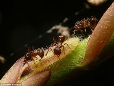 My species of lycaenid butterflies use ants to feed them or protect them, as shown in the image above