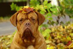 #French #mastiff