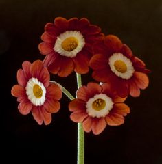 From 16th century Huguenot refugees, to the present day Auricula growing is a special kind of horticulture – full of tradition and history – providing the origin of the word 'flor…
