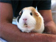 "Article: ""How to Build a Stronger Bond with Your Guinea Pig."""