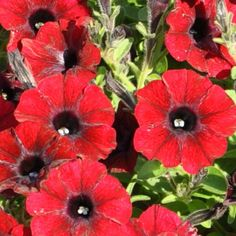 Petunia Supertunia Chocolina Plants, Beautiful, Fall Back, Replant, Lawn And Garden, Plant, Planets