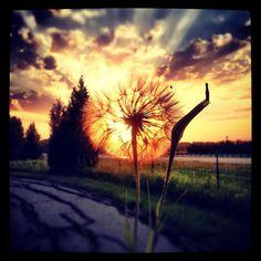 Dandelion senja :)