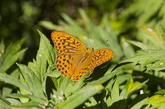 https://flic.kr/p/FCRAZC | Butterfly | The Kamikochi valley