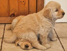 Golden Retriever Pups #GoldenRetriever