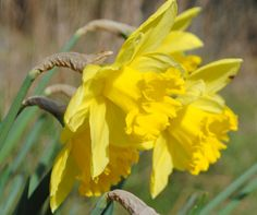Daffodils, Flower photo, Digital Photograph picture, instant printable gift, turtlesandpeace